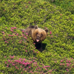 The brown bear in the Pyrenees