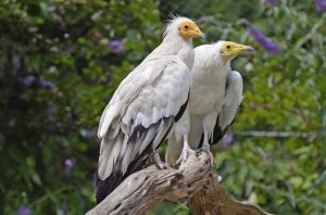 Wildlife in Pyrenees Egyptian vulture