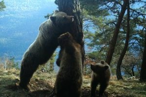 Pyrenees bear tracking experience