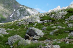 Marmots in the Pyrenees mountains