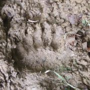 See tracks of the brown bear in the Pyrenees