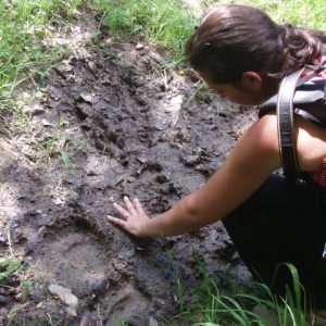 See tracks of brown bear on a Pyrenees wildlife holiday