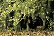 The capercaillie