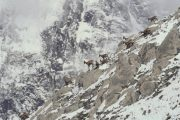Chamois on a mountain slope in Pyrenees