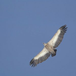 Spot the Egyptian vulture on wildlife discovery holiday