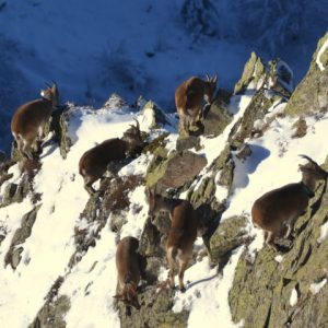 Ibex on a mountain slope in the Pyrenees