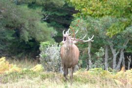 Experience red deer rut on wildlife discovery holiday