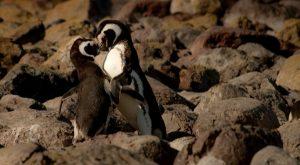 Pyrenean rock penguin