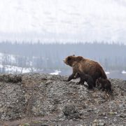 Brown bear in the Pyrenees