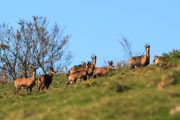 See chamois on a Pyrenees wildlife holiday