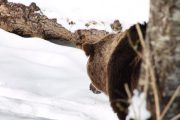 Tracking bears in the snow