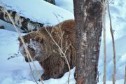 Tracking a brown bear in the snow