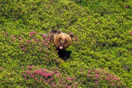 A brown bear in the rhododendrons
