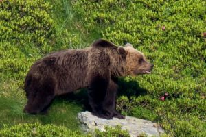 Tracking the brown bears in the Spanish Pyrenees