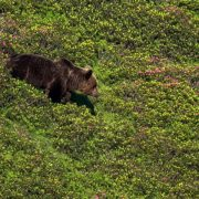 Brown bear emerging from the rhodos