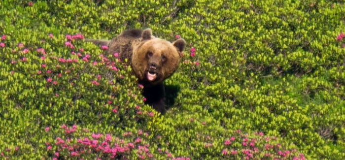 All about the brown bear in the Pyrenees
