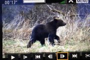 Young bear captured on video on wildlife holiday