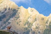 Chamois with Pyrenees mountain backdrop