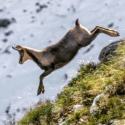 A chamois seen on a Pyrenees wildlife holiday