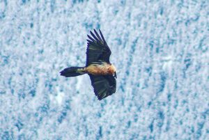 You may see a bearded vulture on a Pyrenees wildlife holiday