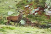 See red deer stags on a Pyrenees wildlife holiday