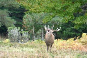 Red deer stag autumn rut