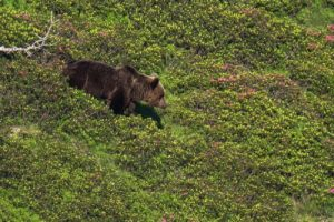 Brown bears in the Pyrenees