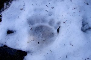 Tracks of the brown bear in the Pyrenees