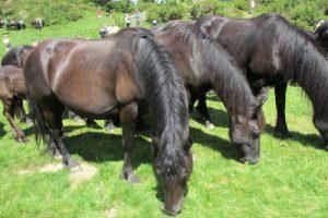 Merens horses in Pyrenees
