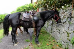 Merens horse saddled ready to ride