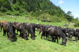 Merens horses in the mountain pastures of the Pyrenees