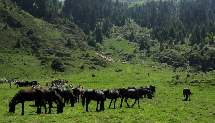 Native Merens horses in the Ariege Pyrenees