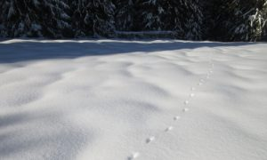 Animal tracks on a snowshoeing adventure