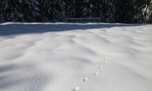 Animal tracks on a snowshoeing adventure