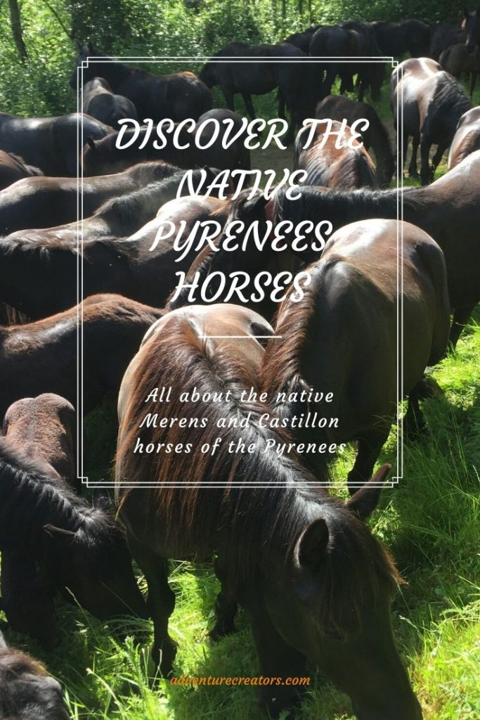 All about the native horses of the French Pyrenees