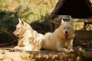 huskies relaxing