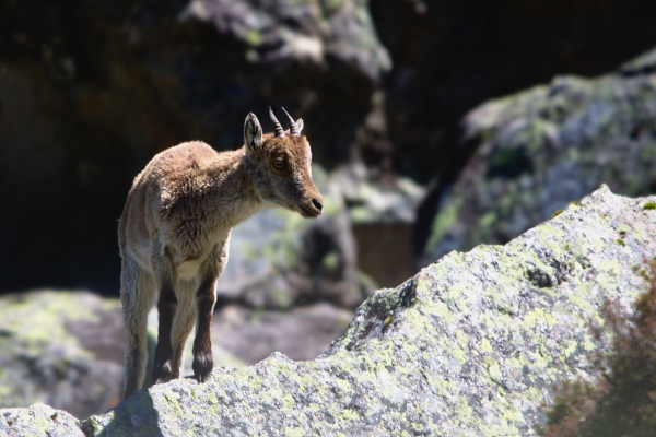 Ibex kid in the Pyrenees mountains